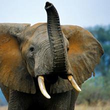 TON elephant.png
