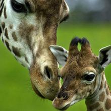 TON giraffe.png